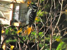 ? Female Hairy Woodpecker