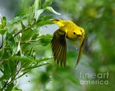 Yellow Warbler takes Flight by Rodney Campbell