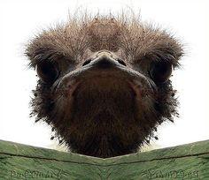 Stink eye from an ostrich :)