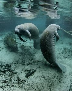 Florida manatee (Trichechus manatus), Crystal River National Wildlife Refuge, Florida by USFWS Endangered Species