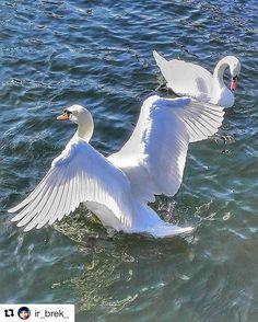 Spread your wings . #reiseliv #reisetips #reiseblogger #reiseråd  #Repost @ir_brek_ with @repostapp  #swans #allnatureshots #bestnatureshot #bns_hdr #bns_ig #bns_vision #reiseradet #pocket_allnature #pocket_hdr #norway2day #ig_fotografdiyari #igscandinavia