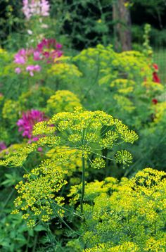 Herb Seeds -Bouquet Dill.Early to flower with large seed heads. Excellent in pickles and used to flavor many other foods. Easy to grow.