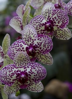 Rare Flowers, Amazing Flowers, Beautiful Flowers, Phalaenopsis Orchid, Orchid Plants, Orchid Seeds, Growing Orchids, Orchidaceae, Trees To Plant