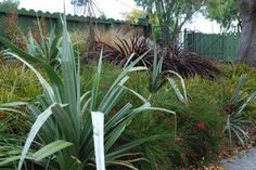 bank planted with Astelia silver spear and strong foliage coloured plants
