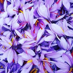 Thank you for sharing this amazing Saffron flower photo The most expensive spice in the world! Spanish Saffron, Saffron Spice, Saffron Flower, Saffron Threads, Golden Milk, Flower Logo, Language Of Flowers, We Are The Ones, Flower Photos