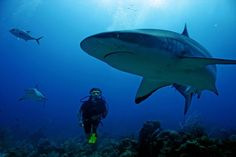 scuba diving with reef sharks in the Caribbean off Roatan Island, Honduras