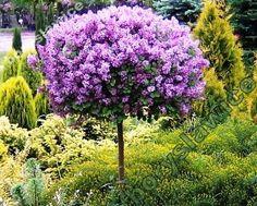 Lilak Meyera \'Palibin\' - wysokość drzewka 100cm