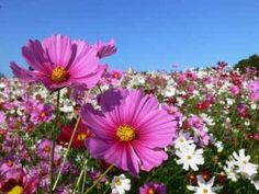 Also in my flower garden, a cosmo Cosmos Flowers, Spring Flowers, Wild Flowers, Happy Flowers, Green Flowers, Thank You Images, Comment Planter, Thank You Friend, Sensory Garden