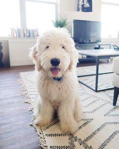 Dog And Puppies Memes .Dog And Puppies Memes Cute Puppies, Cute Dogs, Dogs And Puppies, Doggies, Puppies Tips, Shitzu Puppies, Fluffy Puppies, Collie Puppies, Retriever Puppies