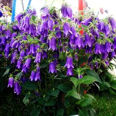 """Which is an unusual hybrid Campanula bell and Campanula punctata Trachelium. bred in the Austrian school. Owes its name to the form of the high priest Sarastro from the opera WA Mozart's """"The Magic Flute"""". It looks like the more well-known variant of """"Kent Belle"""" but much more blooms. Reaches a height of approx. 40-50 cm. and about 60 cm wide. It has a dense compact habit with stiff stems."""