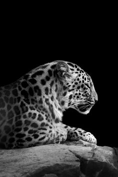 A rare Amur Leopard- love the drama in this black and white photo