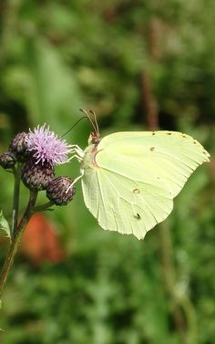 Brimstone (Gonepteryx rhamni) Citroenvlinder (Photo by Jerdek©)