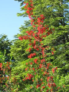 A Chilean Firebush - Embothrium coccineum - known as Notro in Chile.