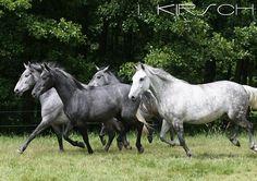 Lippizaner horses