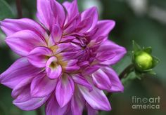 purple zinnias - Google Search