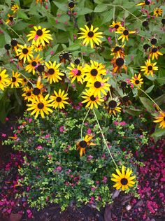 rudbeckia and the fallen petals of crape myrtle Tuscarora adorn a holly.
