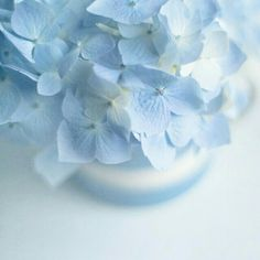 Blue Hydrangea Bleu Pastel Color Light Rose