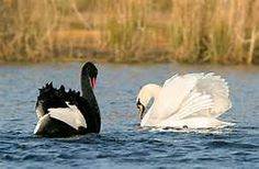 swans - Yahoo Image Search results