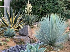 Agaves, Landscape Design, Garden Design, Yucca Rostrata, Gravel Garden, Low Maintenance Landscaping, Provence, Xeriscaping, Front Yard Landscaping
