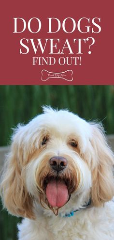 Do Dogs Sweat? Find Out! | Dog Health | Dog Care | Dog Behavior | Dog Health Tips, Dog Health Care, Health Advice, Diy Dog Toys, 1. Tag, Dog Care Tips, Dog Treat Recipes, Mom Advice, Dog Behavior