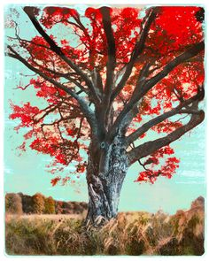 The Red Maple tree, autumn decor, art, photography, nature, tree art, red and teal decor, wall art, Signore on Etsy, $119.00
