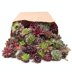 Large variety of succulent plants available: Sempervivum, Sedum, Soft & Hardy Succulents, Echeveria, and affordable Wholesale Succulent Plug Trays. Succulent Cuttings, Succulent Wreath, Plant Cuttings, Planting Succulents, Succulent Plants, Buy Succulents, Succulent Potting Mix, Wholesale Succulents, Hens And Chicks