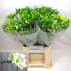 Freesia Anouk is a beautiful, perfumed White cut flower. Very popular in wedding flowers and flower arrangements. May Flowers, Amazing Flowers, Fresh Flowers, White Flowers, Florist Supplies, Flowers Delivered, Flower Food, Plastic Flowers, Spray Roses