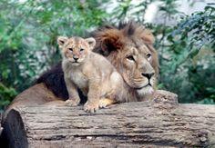 Parc zoologique et botanique - Mulhouse Mulhouse Alsace, Parcs, Lion, Zoo Park, Linda Park, Botany, Hobbies, Leo, Lions
