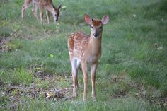 An inquisitive fawn ...