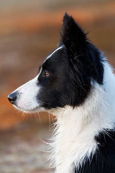 Border Collie - (Portraet), Canis lupus familiaris, Border Collie - (Portrait)