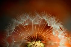 I have yet to see a macro dandelion shot that didn't work...