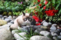 Grumpy cat in a rock garden.