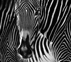 Wildlife photography by David Yarrow  - Telegraph