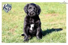 You'll love this Male Labradoodle puppy looking for a new home.