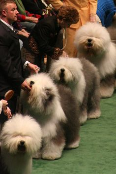 Old English Sheepdogs, Westminster Dog Show by abaesel, via Flickr