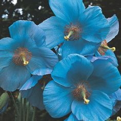 HOW TO GROW THE HIMALAYAN BLUE POPPY - Meconopsis betonicifolia - FROM SEED |The Garden of Eaden