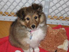 Sheltie Puppy - My baby, Maddie