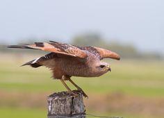 gavião-caboclo