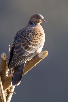 European turtle dove (Streptopelia turtur) - This pic was shot at Pangoot, 15 Kms from Nainital in the Indian state of Uttarakhand.