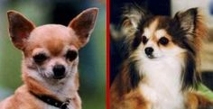 Exercise and the Chihuahua
