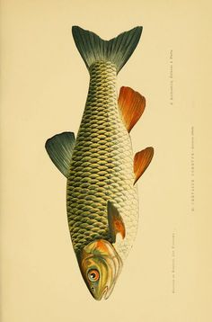 1 - Les poissons : - Biodiversity Heritage Library - My list of the most beautiful animals Music Drawings, Fish Drawings, Art Koi, Kunst Poster, Images Wallpaper, Fish Print, Nature Tattoos, Vintage Fishing, Sea World