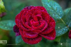 Red Rose by PauloLuis1. Please Like http://fb.me/go4photos and Follow @go4fotos Thank You. :-)