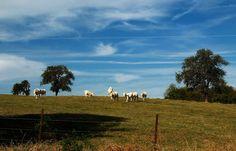 Also heute,  ... ... konnten wir uns hier nicht über das Wetter beschweren. Besonders nicht die Charolais Rinder an der saarländisch-lothringischen Grenze hinter Merzig. Am frühen Nachmittag hatten die und wir viel blauen Himmel und Sonne. :-)