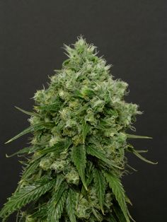 Our star rocket, Spoetnik 🚀⭐! Packed full of flavor, this is a tasty smoke characterized by an earthy personality with tones of grape and metal. Organic Seeds, Back In The Day, Earthy, Cannabis, Paradise, Herbs, Personality, Smoke, Star