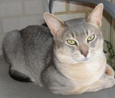 Silver and tan Abyssinian www.catsofaustralia.com