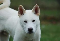 Jace is an adoptable Akita Dog in Chicago, IL.  Meet Jace, a young male Akita who was dropped off to a shelter in Louisiana with another male litter mate by his breeder who was going out of business....