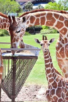 """Over the past two weeks, hundreds of our Facebook Fans voted to name the newest baby giraffe at Busch Gardens. And the winning name is...Madoa! Madoa means """"Spots"""" in Swahili. Busch Gardens Tampa Bay, Baby Giraffes, Elephants, Cute Little Animals, Nature Photos, Animal Kingdom, Puppy Love, Mammals, Cute Babies"""