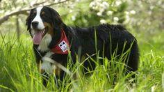 MIRA - Son fondateur est Éric Saint-Pierre. Le 21 octobre 1981, celui-ci présenta à deux personnes aveugles les deux premiers chiens guides dressés au Québec. En 1991, MIRA développe un chien appelé à devenir la première race hautement sociable créée par l'homme dans le but de venir en aide à des humains : le Labernois. Depuis sa création en 1981, MIRA a formé plus de 1 700 chiens guides et chiens d'assistance. Avec le temps, de nouveaux besoins sont apparus. La fondation MIRA a donc développ Chien Mira, Aide, Dogs, Animals, Service Dogs, Dog Types, Bernese Mountain Dogs, Beginning Sounds, Future