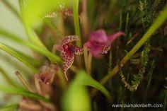 Also in bloom inside the Miniature Orchid Trial BiOrbAir Terrarium is Dryadella…