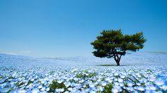 Dwalen in een blauwe bloemenzee in Japan